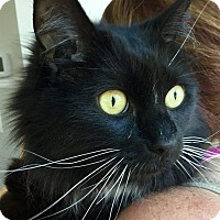 Adopt A Pet :: Oreo - Webster, MA