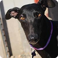 Adopt A Pet :: Kona - Tucson, AZ