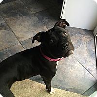 Adopt A Pet :: Lacey Lou - Dayton, OH