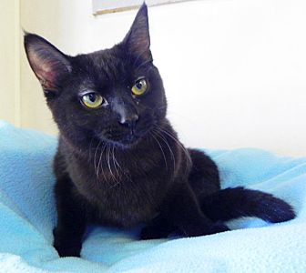 Domestic Shorthair Cat for adoption in Battle Creek, Michigan - Carly