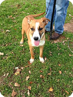 Dachshund/Terrier (Unknown Type, Small) Mix Dog for adoption in Marble Falls, Texas - Skipper