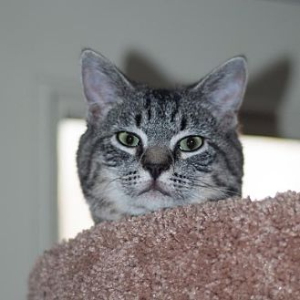 Domestic Shorthair Kitten for adoption in New Martinsville, West Virginia - Slappy Joe