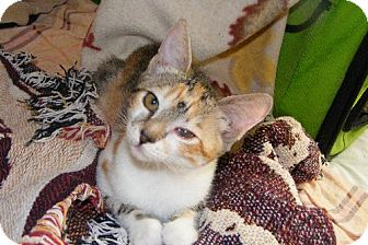 Calico Cat for adoption in Walnut Creek, California - Cattywomp