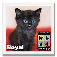 Adopt A Pet :: Royal - Palm Desert, CA
