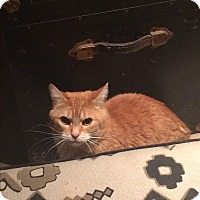 Domestic Shorthair Cat for adoption in Toronto, Ontario - Maxou