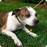 Adopt A Pet :: Poncho - Rowayton, CT