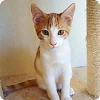 Domestic Mediumhair Cat for adoption in Hammond, Louisiana - Knight