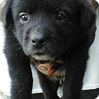 Labrador Retriever Mix Puppy for adoption in Southington, Connecticut - Chica