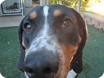 Bluetick Coonhound/Coonhound Mix Dog for adoption in Durand, Wisconsin - Nancy