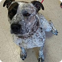 American Pit Bull Terrier/Irish Setter Mix Dog for adoption in Ashtabula, Ohio - Puppy