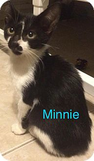 Domestic Shorthair Kitten for adoption in Satellite Beach, Florida - Minnie