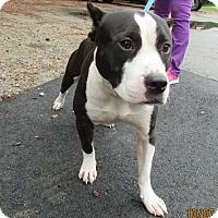 American Staffordshire Terrier Mix Dog for adoption in Warrenton, North Carolina - Chucky