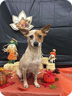 Australian Cattle Dog/Terrier (Unknown Type, Small) Mix Dog for adoption in Raleigh, Texas - A - BAMBI
