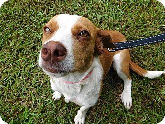 Labrador Retriever/Beagle Mix Dog for adoption in St. Francisville, Louisiana - Phoebe
