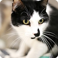 Domestic Shorthair Cat for adoption in Appleton, Wisconsin - Midnight