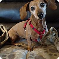 Adopt A Pet :: Bella - Sioux Falls, SD
