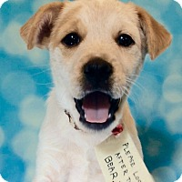 Cattle Dog/Labrador Retriever Mix Puppy for adoption in Hagerstown, Maryland - Paddington