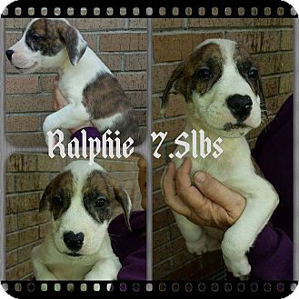 Labrador Retriever/Hound (Unknown Type) Mix Puppy for adoption in Shaw AFB, South Carolina - Ralphie