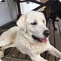 Adopt A Pet :: George - ST LOUIS, MO