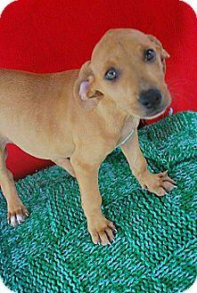 Vizsla/Carolina Dog Mix Puppy for adoption in Saddle Brook, New Jersey - Simone aka Helena