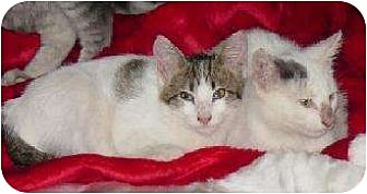 Domestic Shorthair Cat for adoption in Schertz, Texas - Lewis