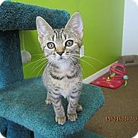 Adopt A Pet :: Tiger - Bunnell, FL