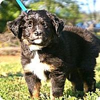 Adopt A Pet :: *Walter - PENDING - Westport, CT