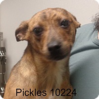 Adopt A Pet :: Pickles - baltimore, MD