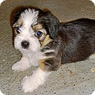 Adopt A Pet :: Dixie's Pup Ducati