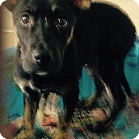 Adopt A Pet :: Shep puppy - Pompton lakes, NJ