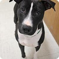 Adopt A Pet :: Cozi - Yukon, OK