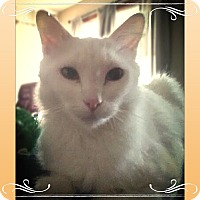 Adopt A Pet :: Snow White - Warren, OH