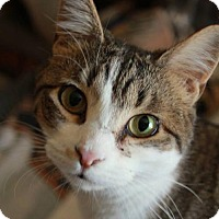 American Shorthair Cat for adoption in Staten Island, New York - Maria