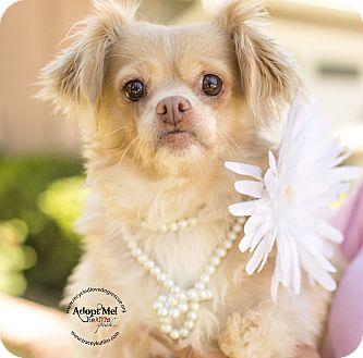 Pekingese/Shih Tzu Mix Dog for adoption in Inland Empire, California - PROMISE
