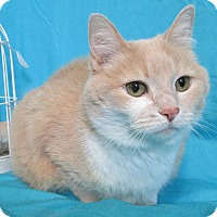 Adopt A Pet :: SNUGGLE MUFFIN - New Cumberland, WV