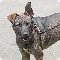 Belgian Malinois/German Shepherd Dog Mix Dog for adoption in Bedford Hills, New York - Wallace
