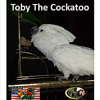 Adopt A Pet :: Toby One Loving Umbrella Cocka - Vancouver, WA