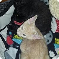 Adopt A Pet :: Jinx - Sarasota, FL