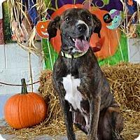 Adopt A Pet :: Honey - Concord, NC