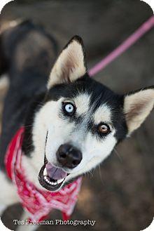 Alaskan Malamute Dog for adoption in Muldrow, Oklahoma - Santana