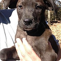 Labrador Retriever Mix Puppy for adoption in Boston, Massachusetts - Jaden
