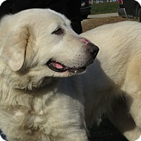 Great Pyrenees Mix Dog for adoption in Unionville, Pennsylvania - Connie