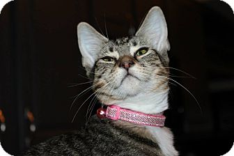 Domestic Shorthair Cat for adoption in McKinney, Texas - Triton
