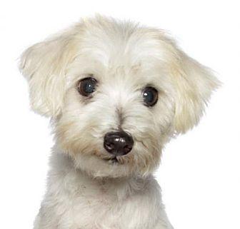 Westie, West Highland White Terrier/Maltese Mix Dog for adoption in Oakland Park, Florida - Freshie