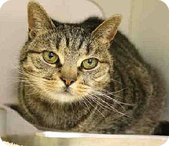 Domestic Shorthair Cat for adoption in Fairfield, Connecticut - Precious