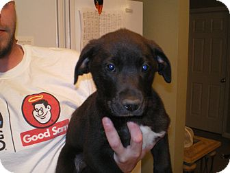 Border Collie/Labrador Retriever Mix Puppy for adoption in Apex, North Carolina - Carter