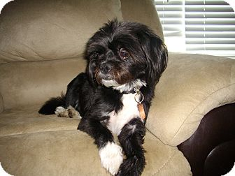 Pug/Lhasa Apso Mix Dog for adoption in Sheridan, Oregon - Kasey