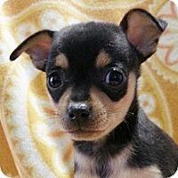 Adopt A Pet :: Tango - Bridgeton, MO