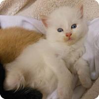 Adopt A Pet :: Mandy - Reston, VA
