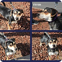 Adopt A Pet :: Vinnie - Yuba City, CA